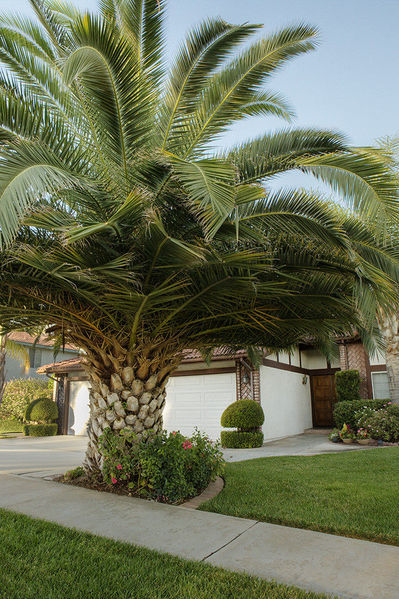 PALM TREE TOPIARY